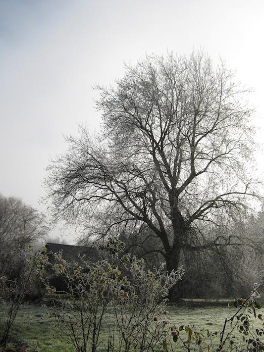 grand arbre givré