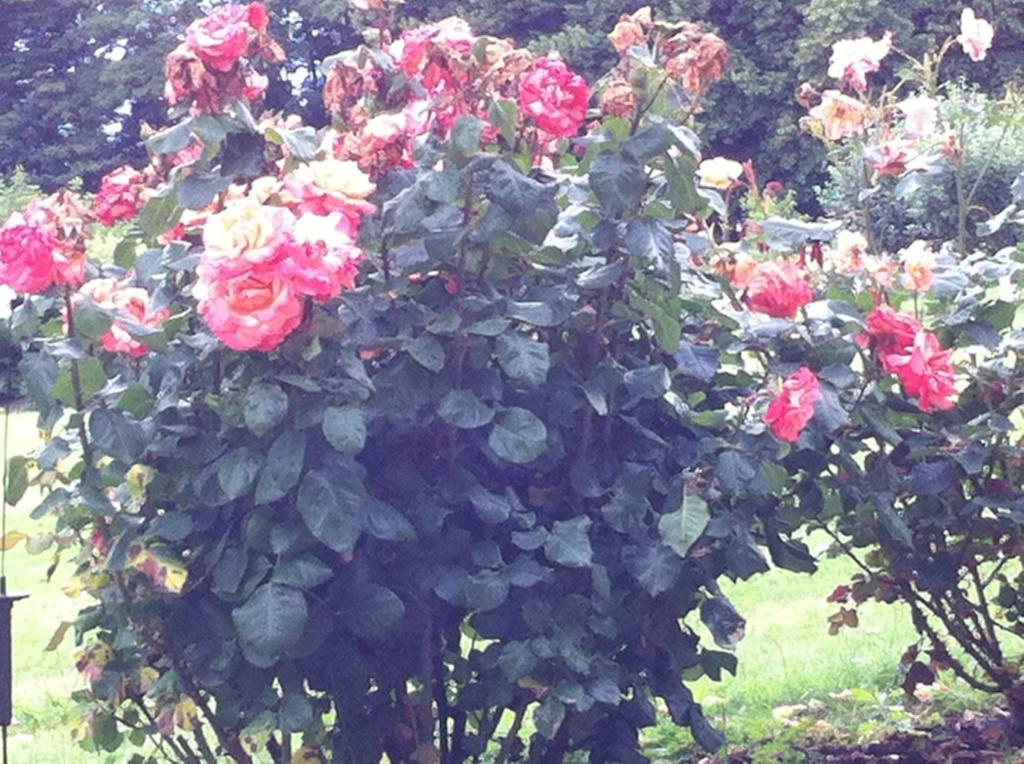 rose pre de la girouette